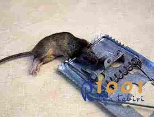 ruyada-fare yakalamak yakaladigini gormek-fare oldurmek-buyuk-yavru-fare-1001ruyatabiri