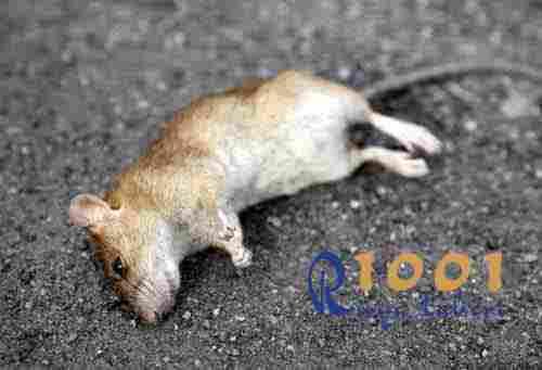 ruyada-fare-gormek-olu fare gormek-fare oldurmek-beyaz fare siyah fare gormek-yavru-fare-gormek-buyuk-fare-1001ruyatabiri